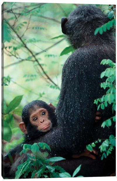 Infant Chimpanzee With Mother Sit Covered In Rain Drops After A Storm, Africa, East Africa, Tanzania, Gombe National Park. Canvas Art Print