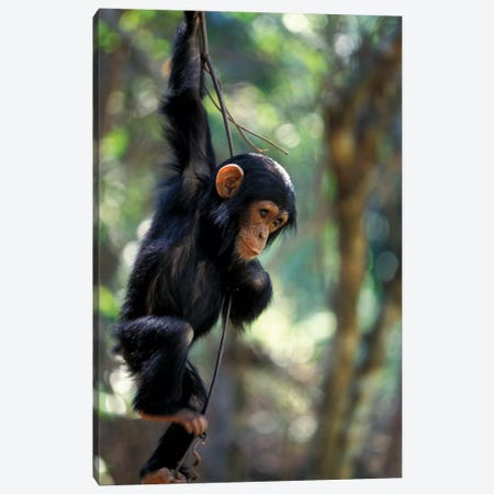 Young Chimpanzee Male, Tanzania, Gombe National Park. Canvas Print #MSR9} by Kristin Mosher Canvas Wall Art
