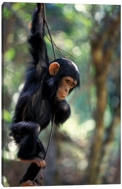 Young Chimpanzee Male, Tanzania, Gombe National Park. Canvas Art Print