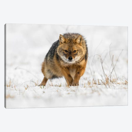 Snow Jackal Canvas Print #MTS101} by Martin Steenhaut Art Print