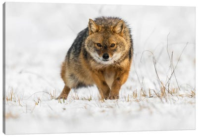 Snow Jackal Canvas Art Print