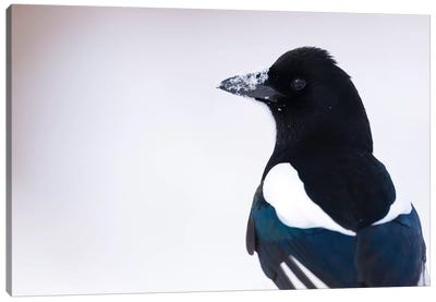 Snow Magpie Canvas Art Print