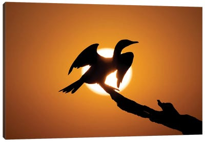 Sunset Cormorant Canvas Art Print