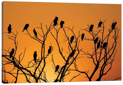 Sunset Cormorant Colony Canvas Art Print