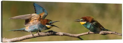 Bee Eater Fight Canvas Art Print