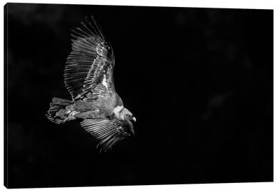 Vulture Flight Canvas Art Print