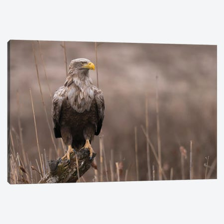 Winter Eagle Reed Canvas Print #MTS113} by Martin Steenhaut Canvas Artwork