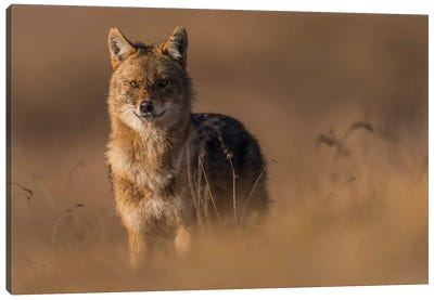 Winter Jackal Canvas Art Print