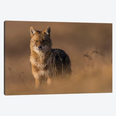 Winter Jackal Canvas Print #MTS114} by Martin Steenhaut Canvas Print