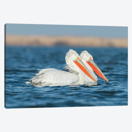 Winter Pelicans Canvas Print #MTS115} by Martin Steenhaut Art Print