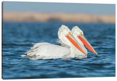 Winter Pelicans Canvas Art Print