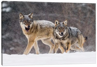 Wolf Attack Canvas Art Print