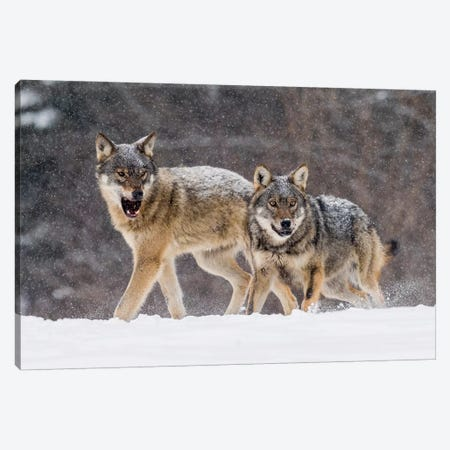 Wolf Attack Canvas Print #MTS116} by Martin Steenhaut Art Print