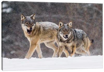 Wolf Attack Canvas Art Print