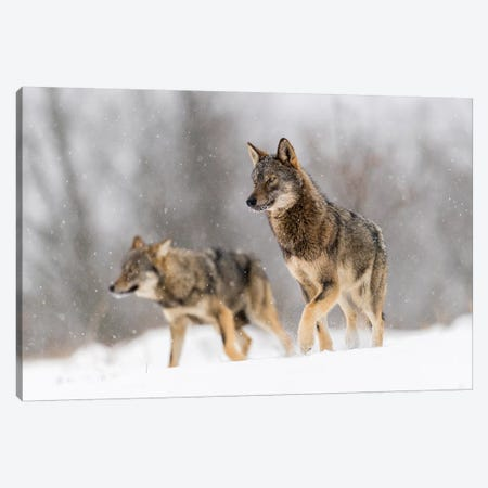 Wolf Duo Canvas Print #MTS117} by Martin Steenhaut Canvas Art Print