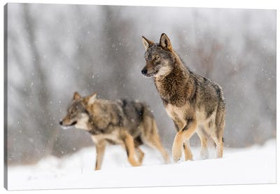 Wolf Duo Canvas Art Print