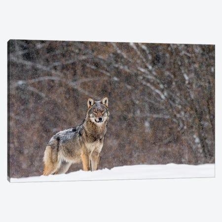 Wolf Winter Snow Canvas Print #MTS118} by Martin Steenhaut Canvas Artwork