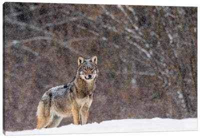 Wolf Winter Snow Canvas Art Print