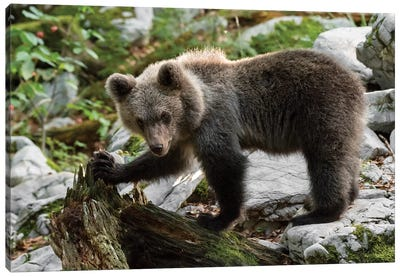 Young Bear On Rock Canvas Art Print