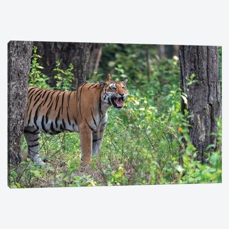 Bengal Tiger Roar Canvas Print #MTS12} by Martin Steenhaut Canvas Art