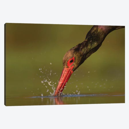 Black Stork Catch Canvas Print #MTS13} by Martin Steenhaut Canvas Wall Art