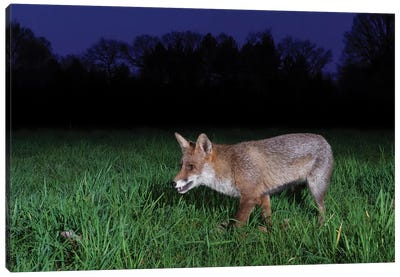 Night Fox I Canvas Art Print