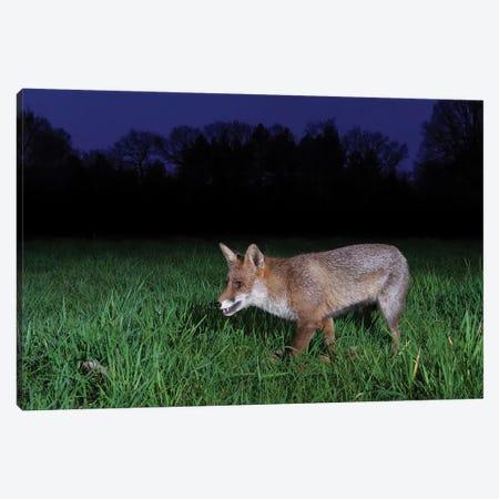 Night Fox I 3-Piece Canvas #MTS140} by Martin Steenhaut Canvas Print