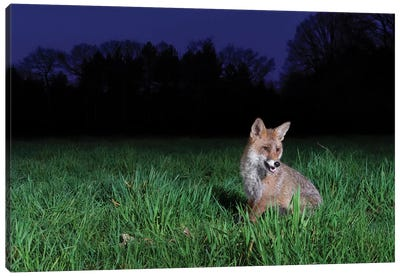 Night Fox II Canvas Art Print