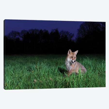Night Fox II Canvas Print #MTS141} by Martin Steenhaut Canvas Art Print