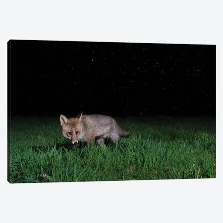 Night Fox In The Rain Canvas Print #MTS142} by Martin Steenhaut Canvas Art Print