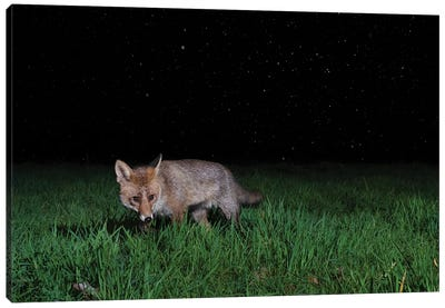 Night Fox In The Rain Canvas Art Print