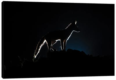 Blue Light Fox Silhouette Canvas Art Print