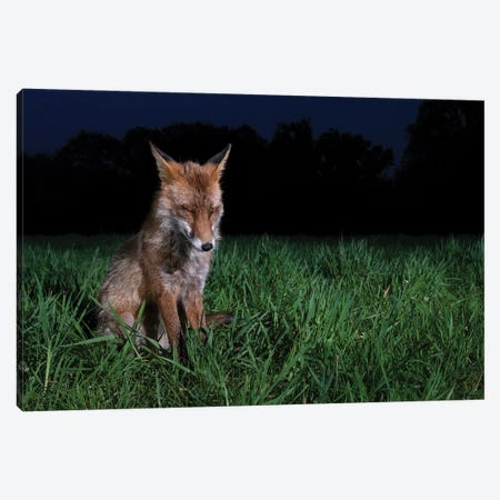Sleepy Night Fox Canvas Print #MTS149} by Martin Steenhaut Canvas Print
