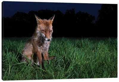 Sleepy Night Fox Canvas Art Print