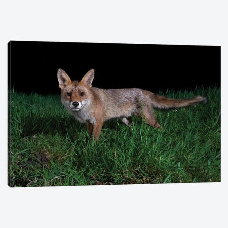 Interested Night Fox Canvas Print #MTS150} by Martin Steenhaut Canvas Wall Art