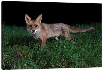 Interested Night Fox Canvas Art Print