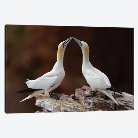 Loving Gannets Canvas Print #MTS151} by Martin Steenhaut Canvas Art