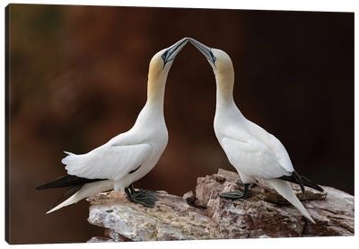 Loving Gannets Canvas Art Print