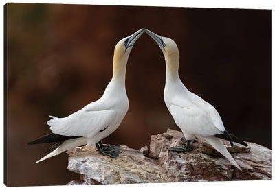 Loving Gannets Canvas Art Print