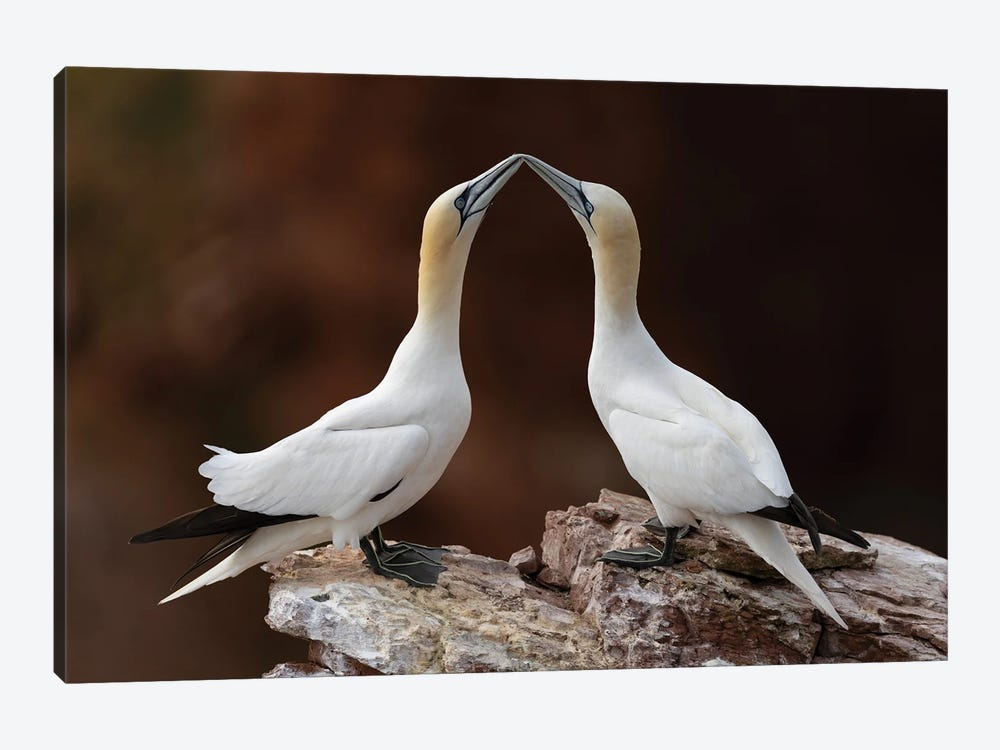 Loving Gannets by Martin Steenhaut 1-piece Art Print