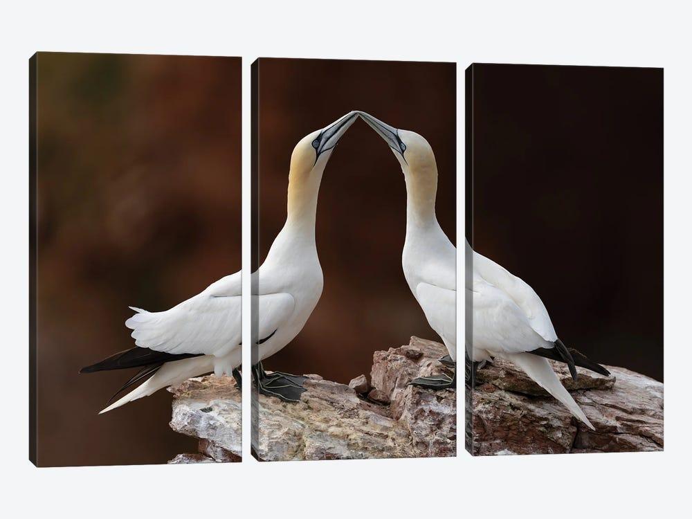 Loving Gannets by Martin Steenhaut 3-piece Art Print