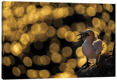 Golden Gannet Canvas Art Print