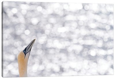 Gannet Reflections Canvas Art Print