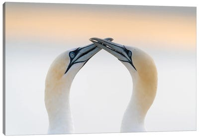 Gannet Love Canvas Art Print
