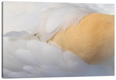 Gannet Golden Plumes Canvas Art Print