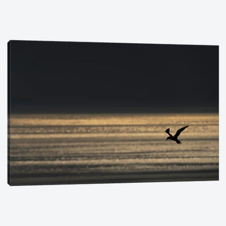 Gannet Evening Flight Canvas Print #MTS158} by Martin Steenhaut Canvas Artwork