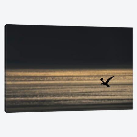 Gannet Evening Flight Canvas Print #MTS158} by Martin Steenhaut Canvas Artwork