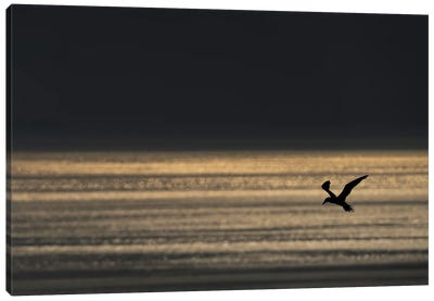 Gannet Evening Flight Canvas Art Print