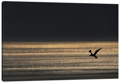 Gannet Evening Flight Canvas Art Print