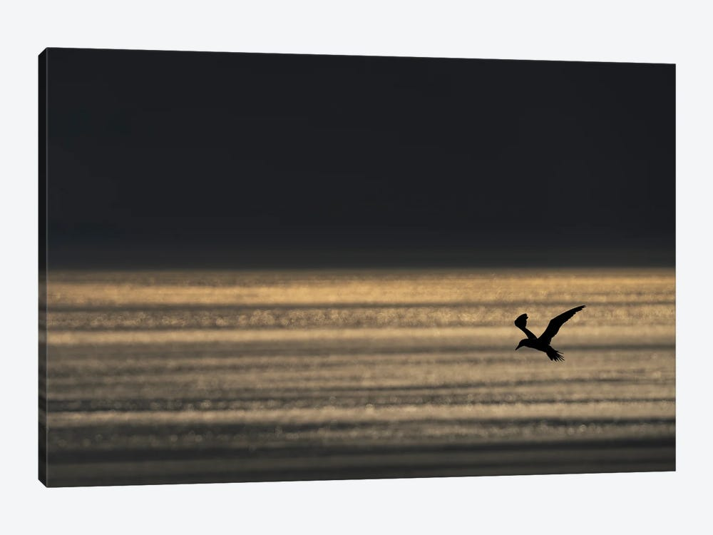 Gannet Evening Flight 1-piece Canvas Wall Art